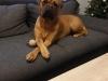 Amy Bordeauxdogge x Bullmastiff 3