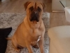 Amy Bordeauxdogge x Bullmastiff 2