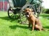 hund-scotty-25
